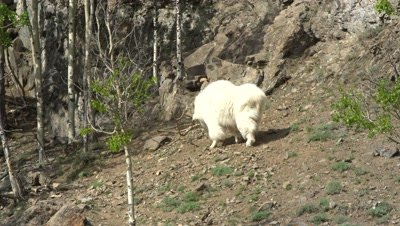 4K Mountain Goat walking along steep rock face, in to woods to join another goat - SLOG2