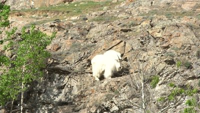 4K Mountain Goat climbing up steep rock face - SLOG2