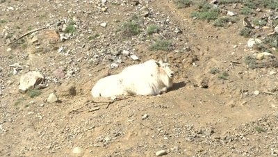4K Mountain Goat lying in rocks & dirt, ground hog runs behind - SLOG2