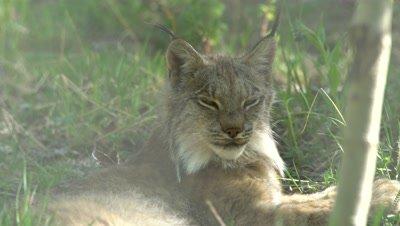 4K Lynx rest in grass behind bush