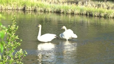 4K Trumpeter Swan male & female. One resting on water feet up, Wider shot