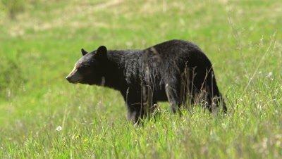 4K Black Bear eating grass, zoom in