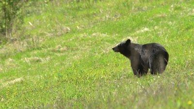 4K Black Bear eating grass