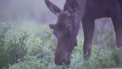 4K Moose eating grass in early morning mist, Close shot - SLOG2
