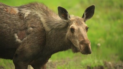 HD Moose eating from mineral lick, looks towards camera, tight shot