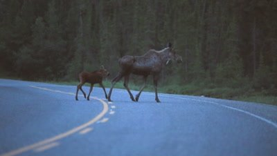HD Moose sow & calf crossing road after sun down