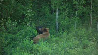 HD Cinnamon bear approaches and sniffs black bear in grass