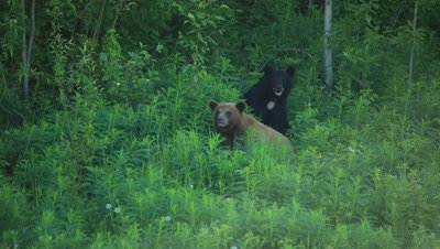 HD Cinnamon bear courting black bear with white patch on chest, both turn to look at camera