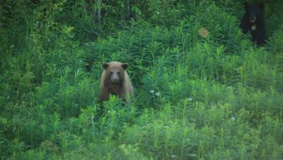 HD Cinnamon bear walks away from black bear with white patch on chest, zoom out