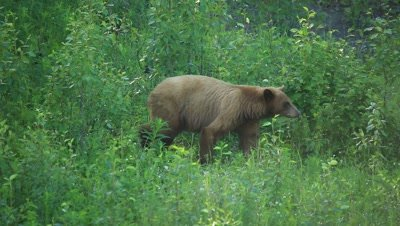 HD Cinnamon bear walks thru grass towards black bear with white patch on chest, zoom wide
