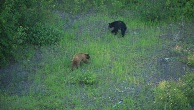 HD Cinnamon bear follows black bear up grassy hill