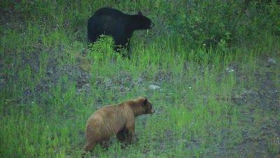 HD Cinnamon bear leads black bear down grassy hill