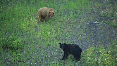HD Cinnamon bear flirts with black bear on grassy hill
