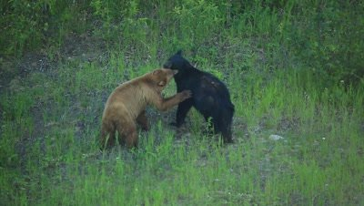 HD Cinnamon bear flirts with black bear, sniffs, rubs, smells, licks