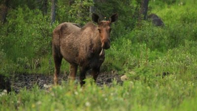 HD Moose eating from mineral lick, raises head water dripping, reverse angle