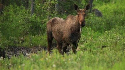 HD Moose eating from mineral lick, raises head water dripping