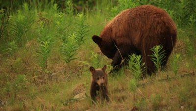 HD Cinnamon bear with two baby cubs, one cinnamon, one black