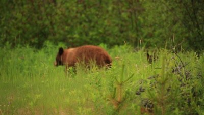 HD Cinnamon bear with two baby cubs, one cinnamon, one black chasing after mom