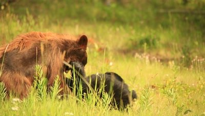 HD Cinnamon bear wrestling with black bear in grass