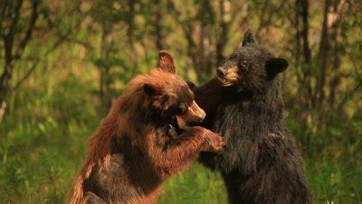 HD Cinnamon bear wrestling with black bear in grass