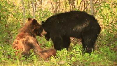 HD Cinnamon bear wrestling with black bear in grass, black walks away at end