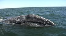 Gray Whale On Surface