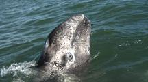 Baby Gray Whale