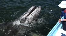 Baby Gray Whale Open It's Mouth