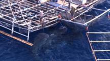 Multiple Whale Shark Being Fed By Fisherman At The Surface Under Fishing Platform, Shot From The Mast Of Sail Boat