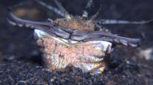 Close Up Bobbit Worm Jaws Open In Black Sand