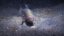 Bobbit Worm Captures Cardinalfish And Drags It Down Into Black Sand