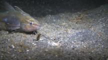 Bobbit Worms Grabs Fish By The Head And Drags It Into The Sand.