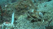 Mantis Shrimp Strikes Fish Several Times But Fails To Capture It.