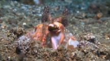 Mantis Shrimps Strikes At A Fish But Misses.