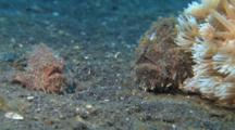 Pair Of Striated Frogfish, One Frogfish Captures A Large Fish Too Big For It To Swallow And Releases It
