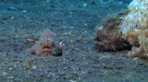 Pair Of Striated Frogfish Catch A Passing Goby.