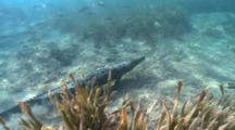 Wide Shot Of Salt Water Crocodile Swimming Along The Bottom Surrounded By Fish.