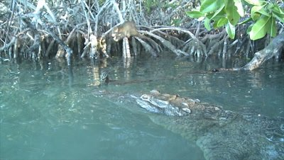 Saltwater Crocodile stalking Desmarest's Hutia / Cuban Hutia in the mangroves
