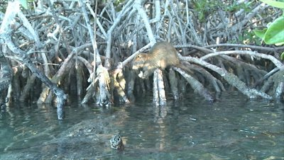 Saltwater Crocodile stalking and hunting then killing Desmarest's Hutia / Cuban Hutia in the mangroves