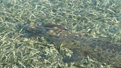 American Crocodile with Desmarest's Hutia / Cuban Hutia in its mouth swimming over seagrass
