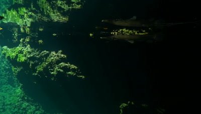 Cuban Gar underwater in freshwater lake