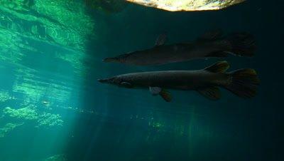 Cuban Gar from below in very clear freshwater