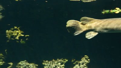 Close up pan of Cuban Gar underwater with reflection on the surface