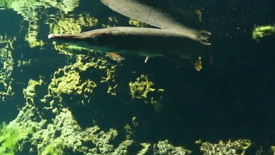 Cuban Gar underwater