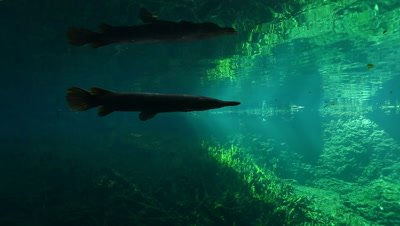 Silhouette of Cuban Gar swimming away