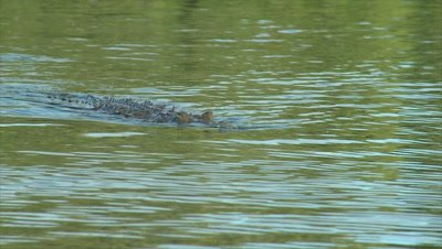 Salt Water Crocodile swimming towards camera in slow motion