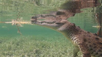 Underwater shot of Salt Water Crocodile at surface then walks along seabed