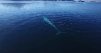 Aerial of Blue whale spraying water from blowhole from behind