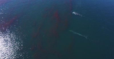 Aerial of two Fin whales feeding on Krill swarm