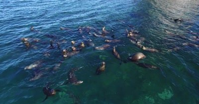 Aerial of Sea lions playing at surface